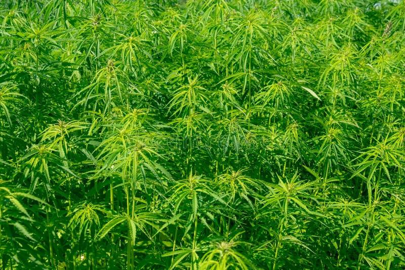 Campo com plantas do cânhamo fotografia de stock royalty free
