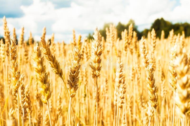Campo com trigo amarelo e o céu azul com nuvens brancas imagem de stock royalty free