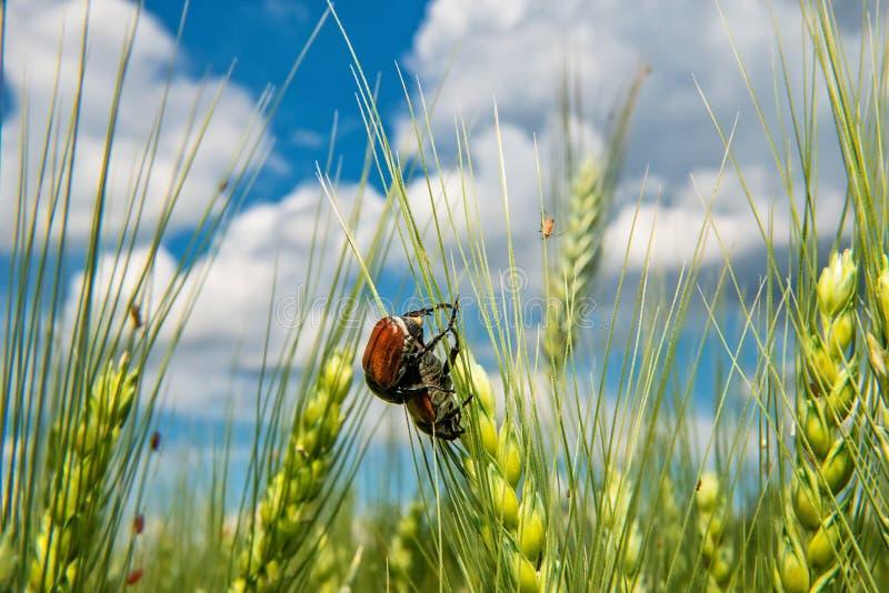 Campo com trigo e erro ou varinha de rabdomante de acoplamento de maio do besouro europeu fotografia de stock royalty free