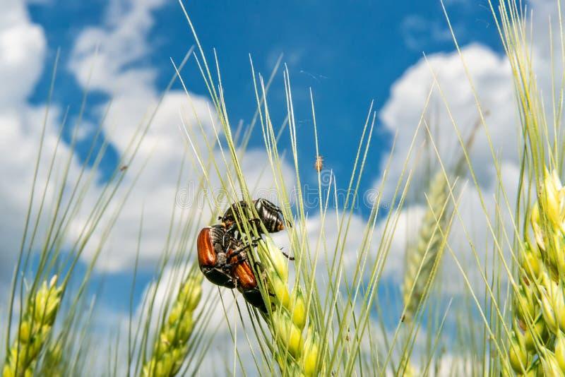 Campo com trigo e erro ou varinha de rabdomante de acoplamento de maio do besouro europeu foto de stock