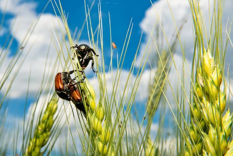 Campo com trigo e erro ou varinha de rabdomante de acoplamento de maio do besouro europeu imagem de stock royalty free