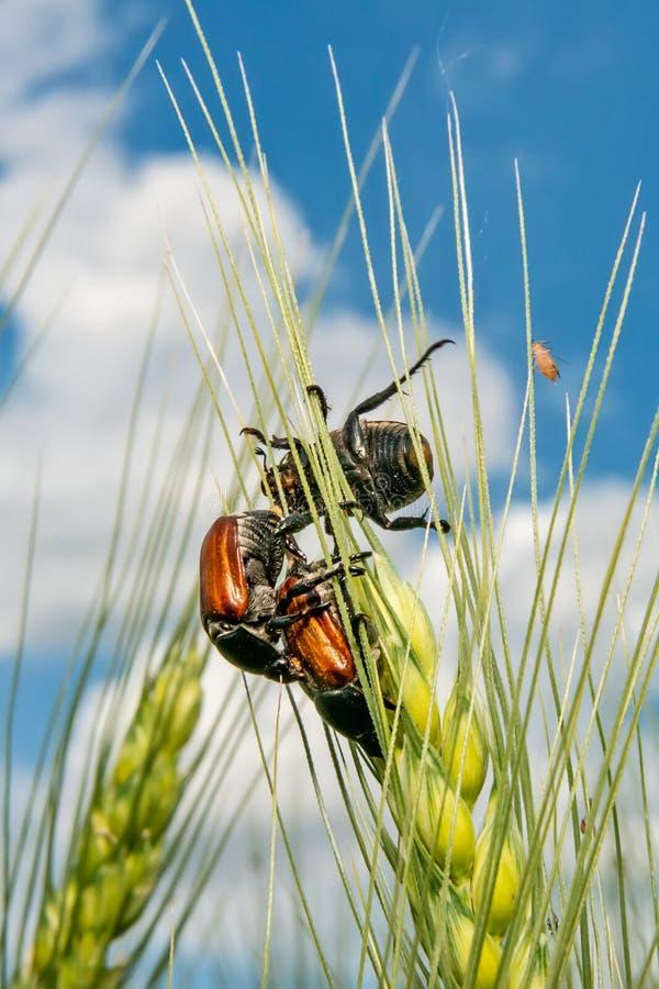 Campo com trigo e erro ou varinha de rabdomante de acoplamento de maio do besouro europeu fotos de stock