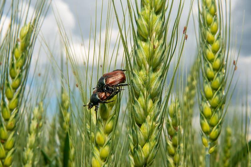 Campo com trigo e erro ou varinha de rabdomante de acoplamento de maio do besouro europeu imagens de stock royalty free