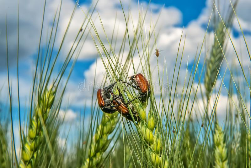 Campo com trigo e erro ou varinha de rabdomante de acoplamento de maio do besouro europeu fotos de stock royalty free