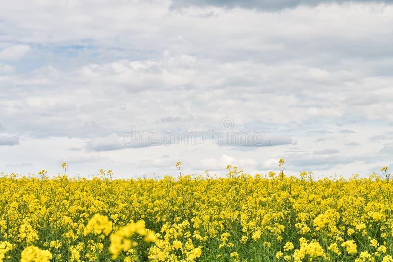 Campo com violação e céu azul com nuvens foto de stock royalty free
