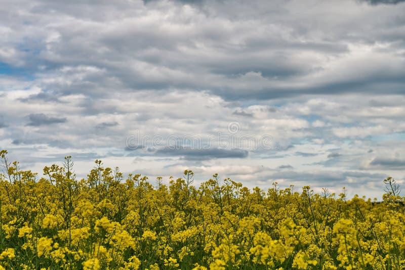 Campo com violação e céu azul com nuvens fotos de stock royalty free