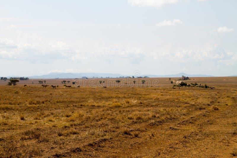 Campo com zebras e o gnu azul imagem de stock