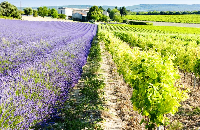 campo con el viñedo, departamento de Drome, Rhone-Alpes, Fra de la lavanda foto de archivo