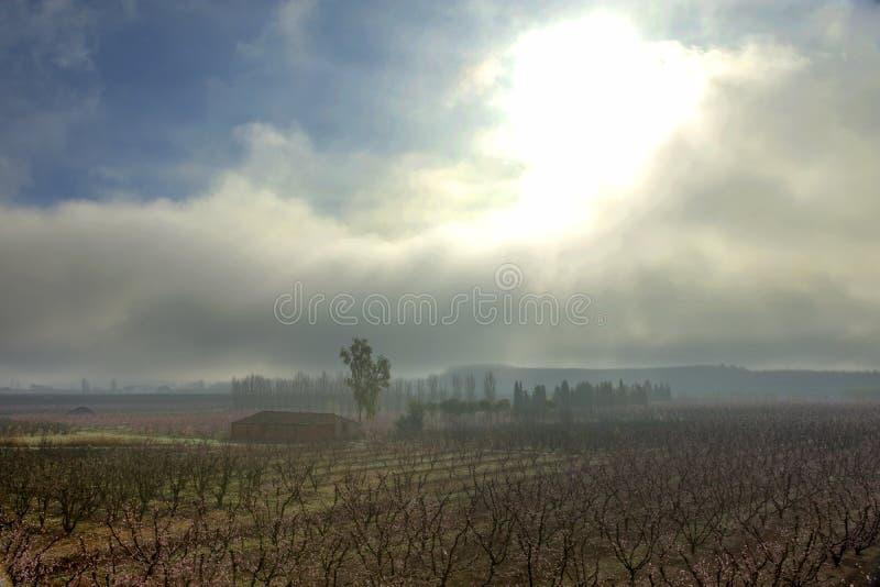Campo con filas del árbol de melocotón en la salida del sol por una mañana de niebla foto de archivo libre de regalías