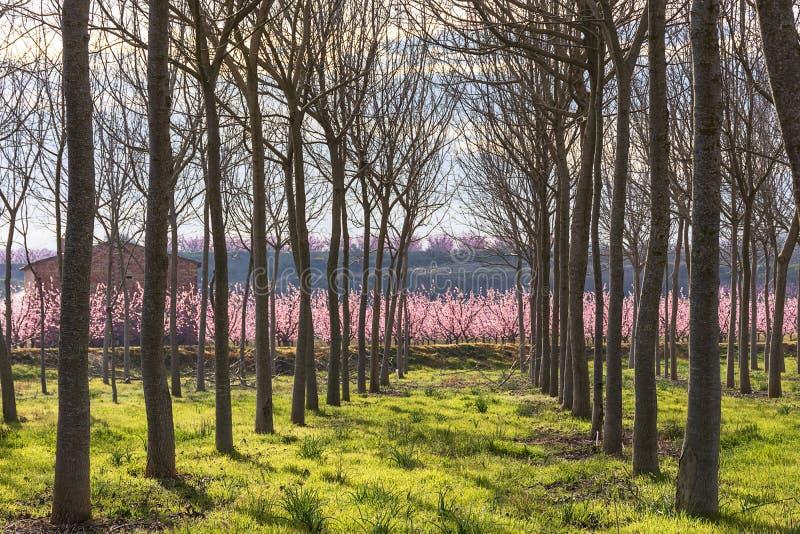 Campo con filas del árbol de nuez en primavera en la salida del sol Árbol de melocotón en la floración con las flores rosadas en  foto de archivo