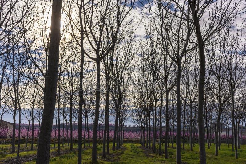 Campo con filas del árbol de nuez en primavera en la salida del sol Árbol de melocotón en la floración con las flores rosadas en  fotografía de archivo