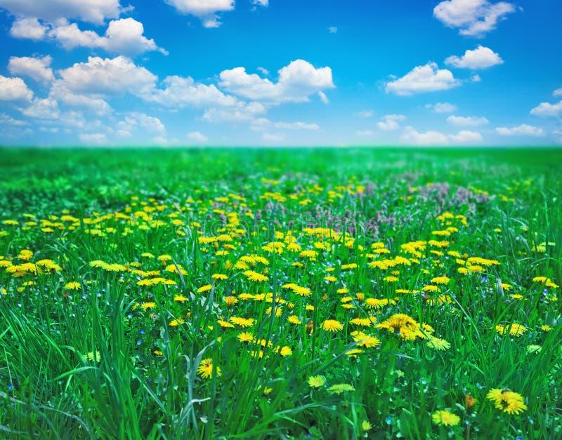 Campo con i fiori fotografie stock libere da diritti