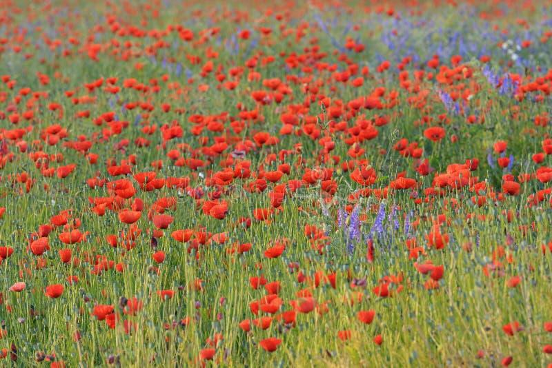 Campo con i papaveri rossi di fioritura immagini stock