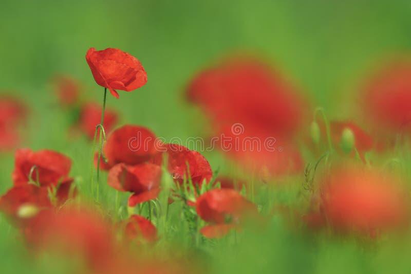 Campo con i papaveri rossi di fioritura fotografie stock