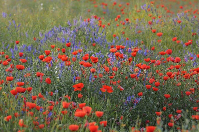 Campo con i papaveri rossi di fioritura fotografia stock libera da diritti
