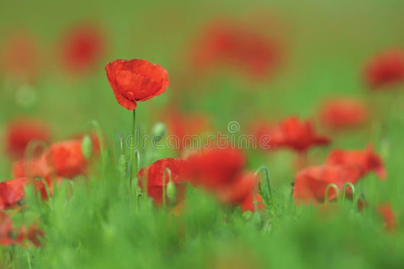 Campo con i papaveri rossi di fioritura fotografia stock
