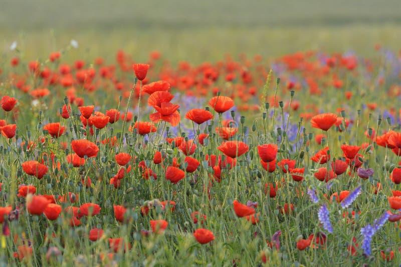 Campo con i papaveri rossi di fioritura immagine stock