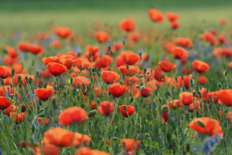 Campo con i papaveri rossi di fioritura immagini stock libere da diritti