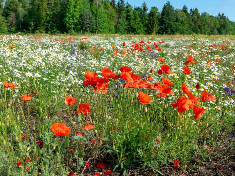 Campo con las amapolas salvajes rojas - imagen de archivo libre de regalías