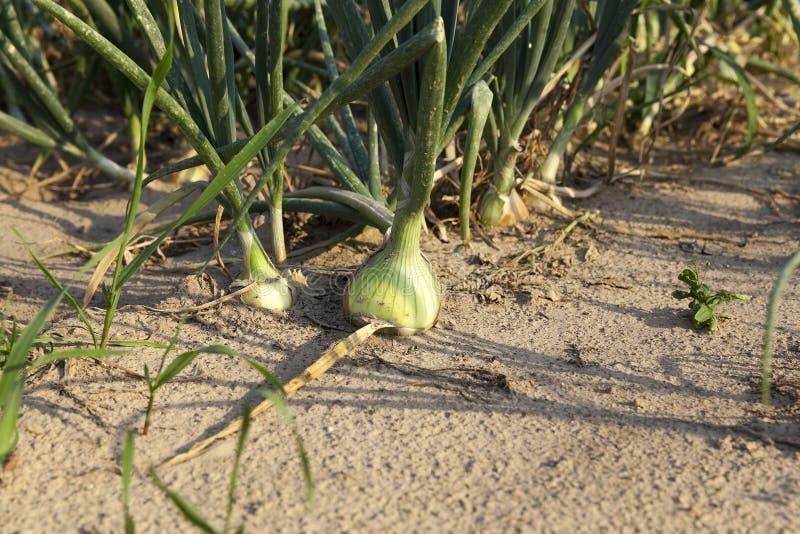 Campo con las cebollas verdes foto de archivo