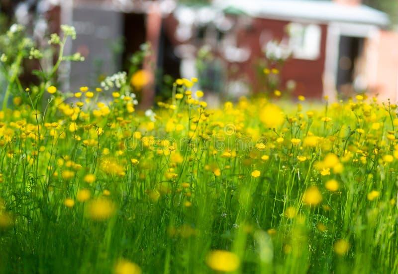 Campo con las flores amarillas del ranúnculo fotografía de archivo
