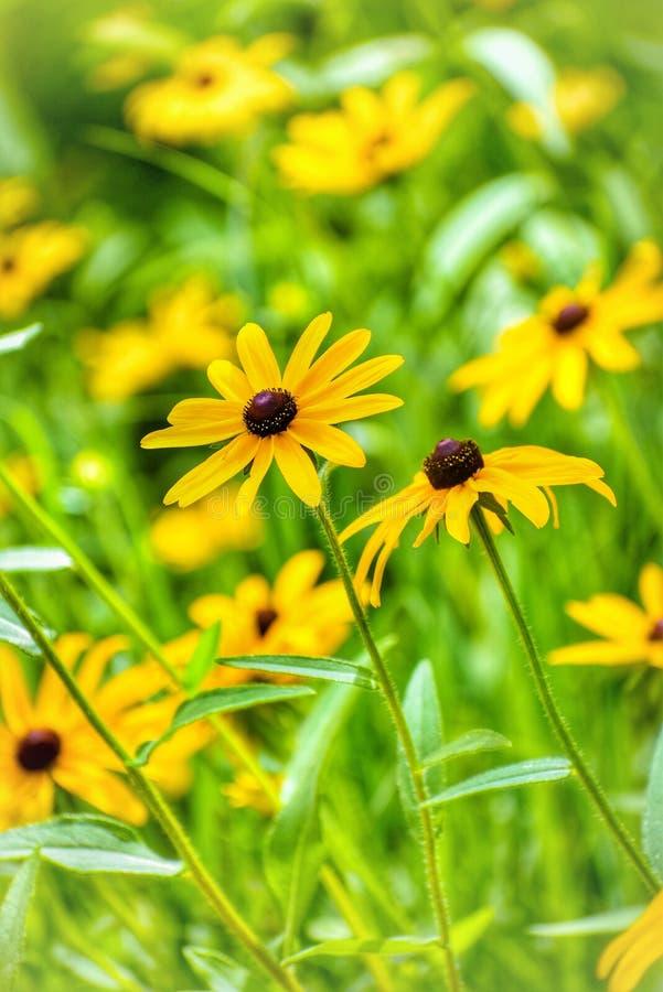 Campo con las flores amarillas imagen de archivo