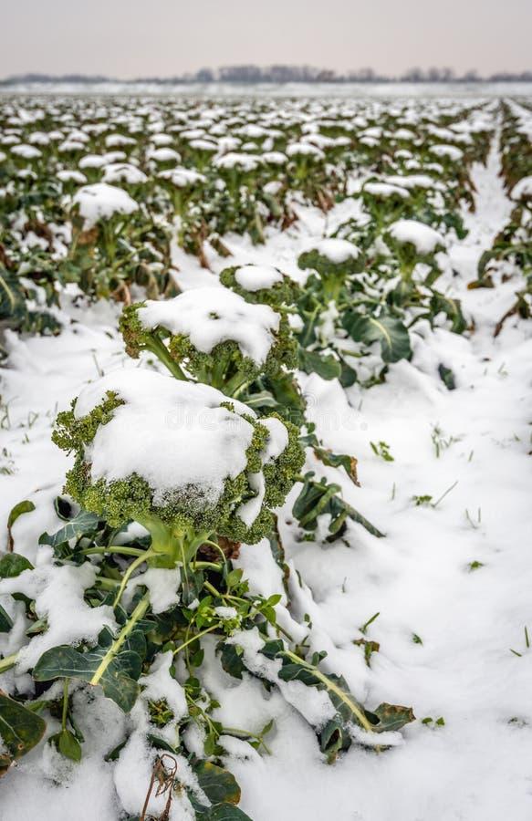 Campo con las plantas cultivadas orgánicas del bróculi cubiertas con nieve imágenes de archivo libres de regalías