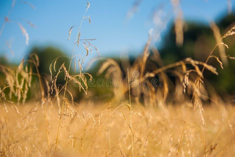Campo con le spighette dorate sotto il cielo blu fotografie stock