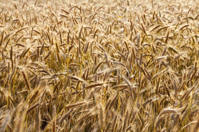 Campo con los cereales fotografía de archivo libre de regalías