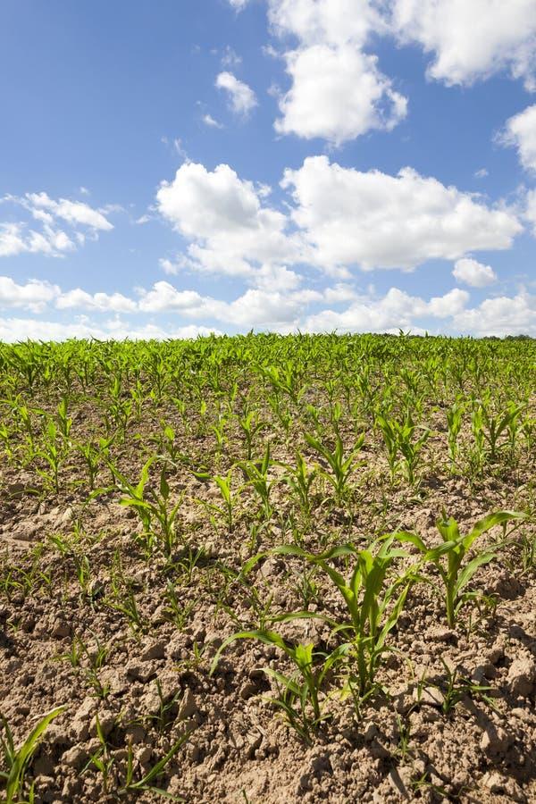 Campo con maíz fotografía de archivo