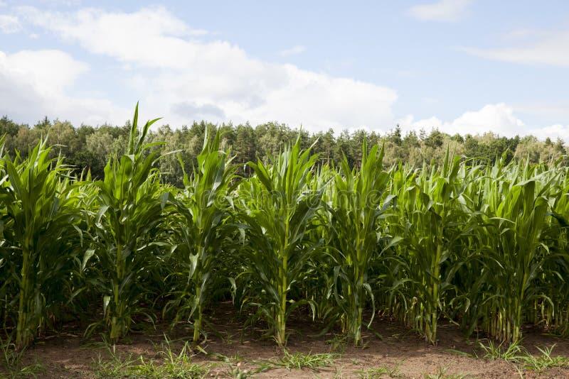 Campo con maíz verde fotografía de archivo