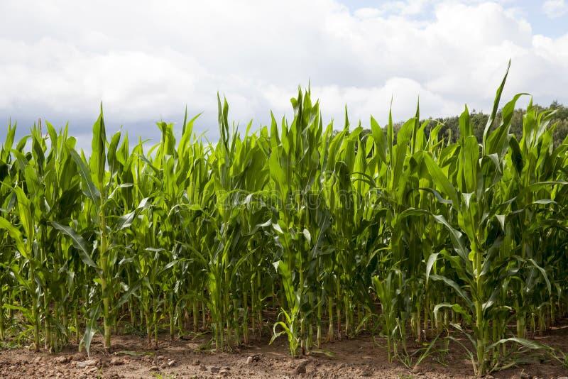 Campo con maíz verde imágenes de archivo libres de regalías