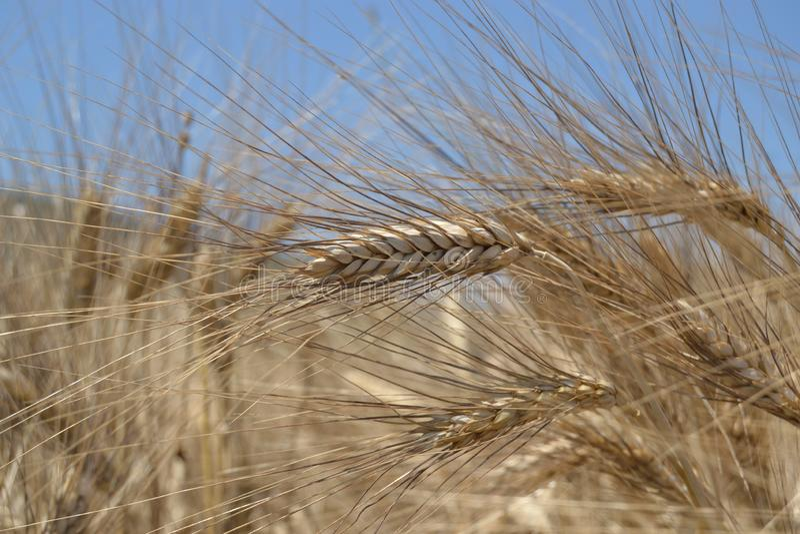 Campo con trigo maduro, con un oído fotografiado de cerca imagen de archivo