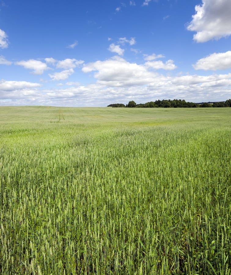 Campo con trigo verde fotos de archivo libres de regalías