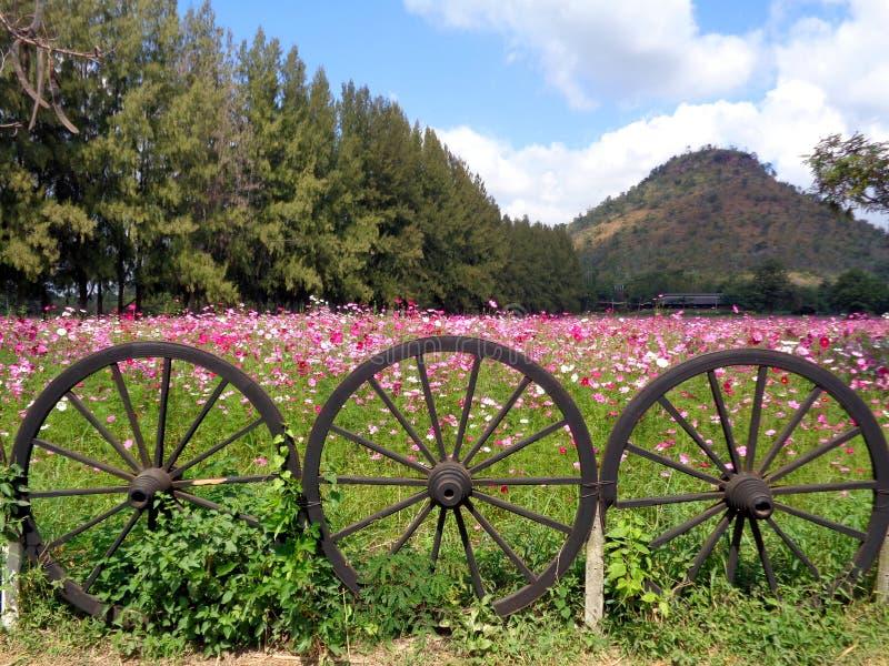 Campo cor-de-rosa de florescência bonito do cosmos no monte atrás da cerca de madeira original da roda fotos de stock royalty free