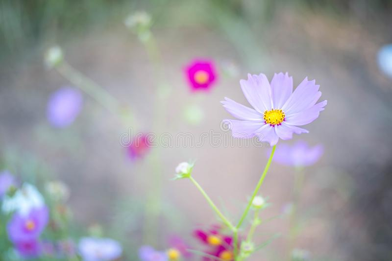 Campo cor-de-rosa do cosmos com fundo do céu azul fotografia de stock royalty free
