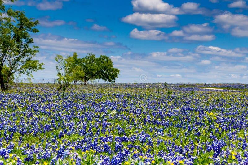 Campo cubierto con Texas Bluebonnet Wildflowers famoso fotografía de archivo