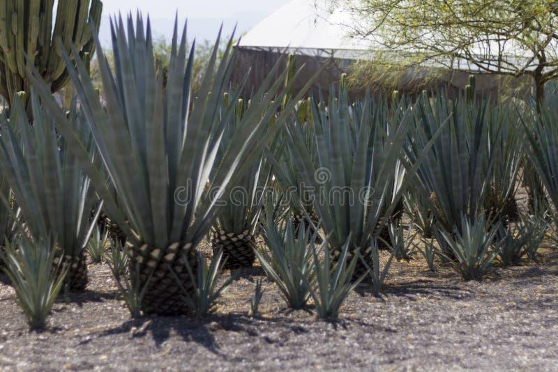 Campo da agave azul em México fotografia de stock