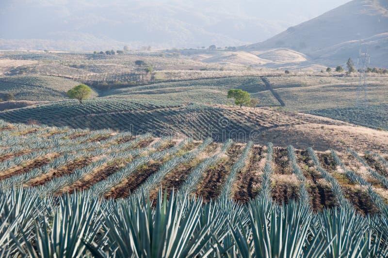 Campo da agave no Tequila, México fotos de stock royalty free