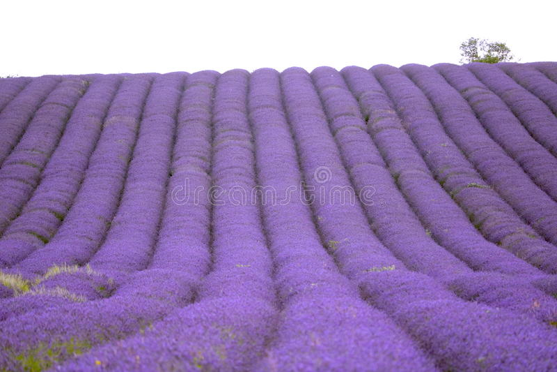 Campo da alfazema de Hitchin, Inglaterra fotos de stock
