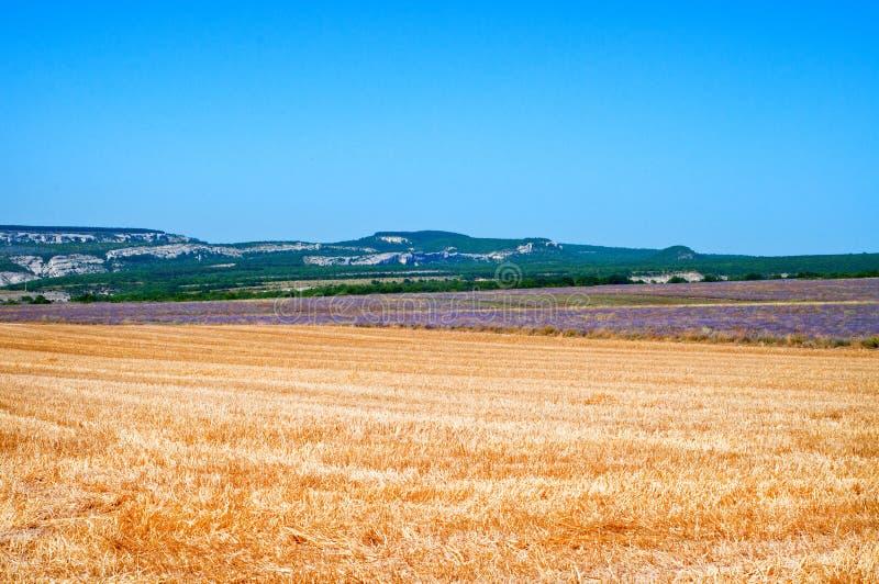 Campo da alfazema e do trigo segado Paisagem bonita do ver?o fotos de stock
