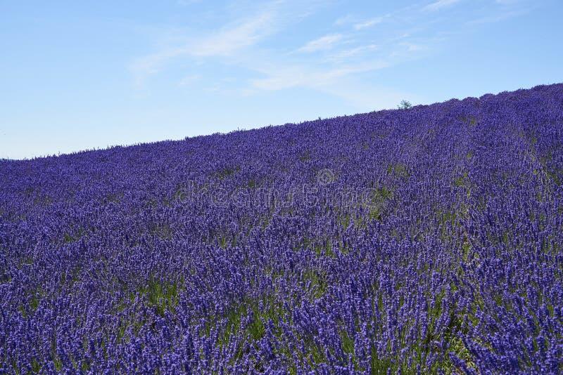 Campo da alfazema em Nakafurano, Hokkaido no verão foto de stock royalty free