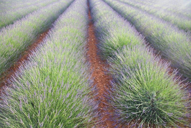 Campo da alfazema em Platô de Valensole, Provence, França fotografia de stock