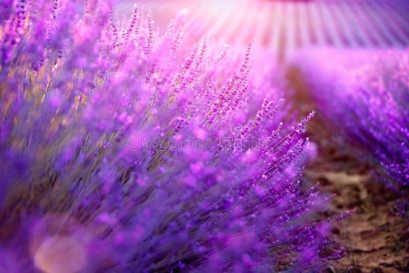 Campo da alfazema em Provence, France Alfazema de florescência imagem de stock royalty free