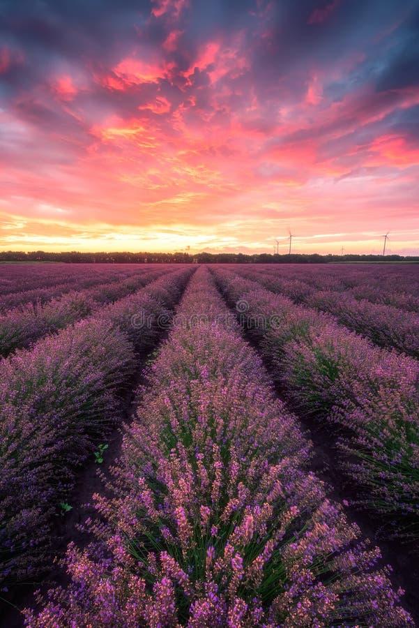 Campo da alfazema no nascer do sol fotografia de stock royalty free