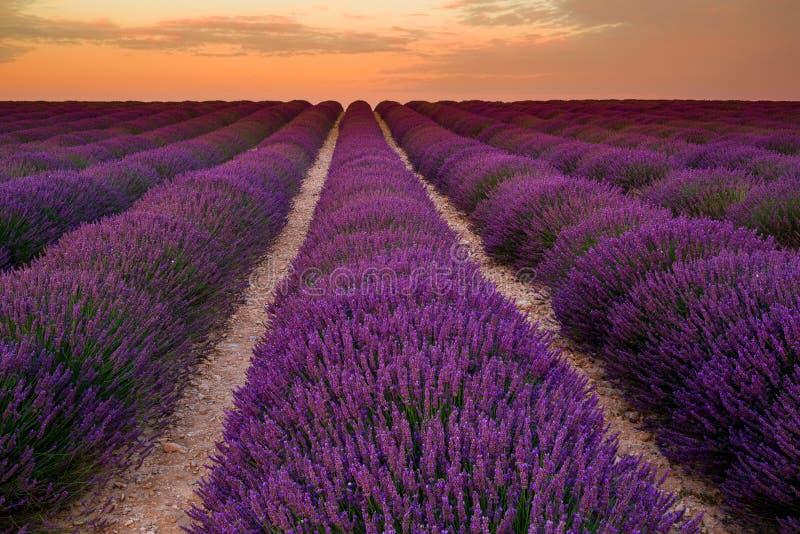 Campo da alfazema no nascer do sol, platô de Valensole (França) imagem de stock