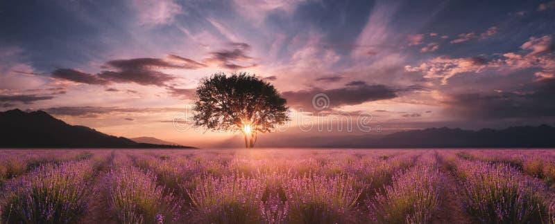 Campo da alfazema no por do sol imagem de stock royalty free