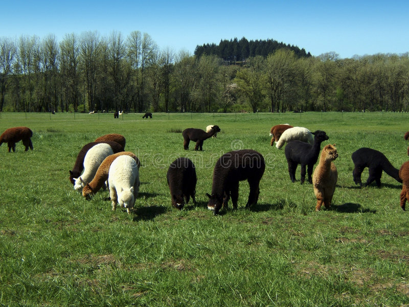 Campo da alpaca foto de stock royalty free