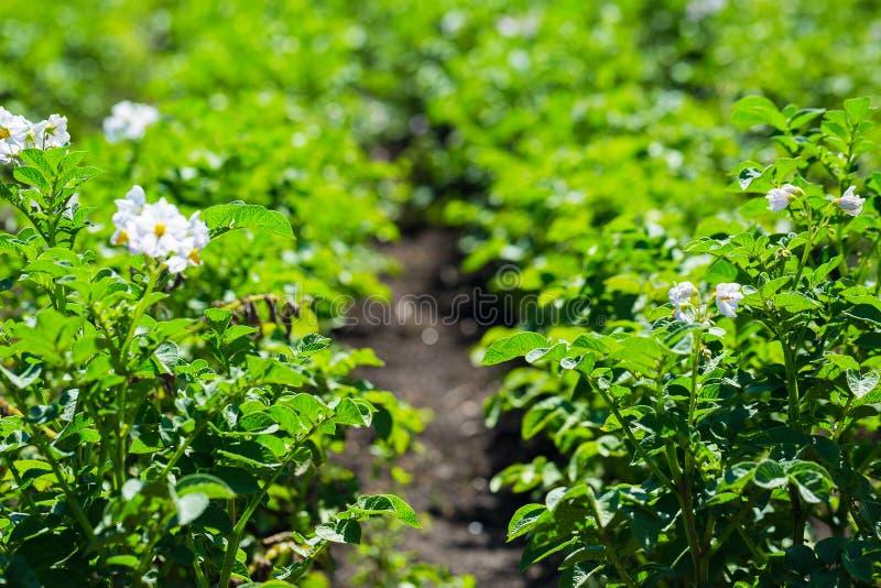 Campo da batata do close up fotografia de stock royalty free
