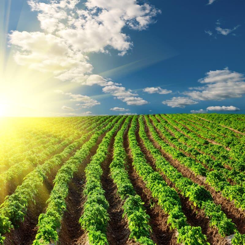 Campo da batata em um por do sol foto de stock royalty free